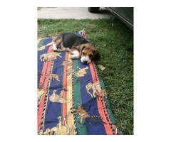 Vendo ultimas 2 cachorritas beagle