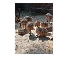 South African Ostrich chicks and eggs suppliers