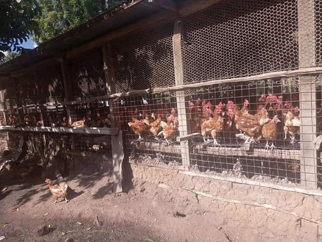 South African Day old and layer chickens suppliers