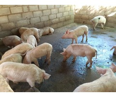 Order gilt pigs and piglets online