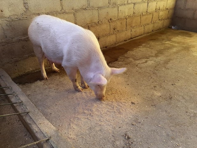Buy gilt pigs and piglets online